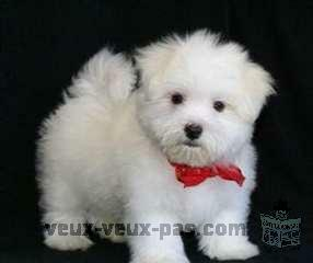 Bebe Bichon Frise A Adopter De Suite Montreal Nord Mtr86318 Petite Annonce Chiens Chiots Animaux Veux Veux Pas Montreal Site De Petites Annonces Gratuites